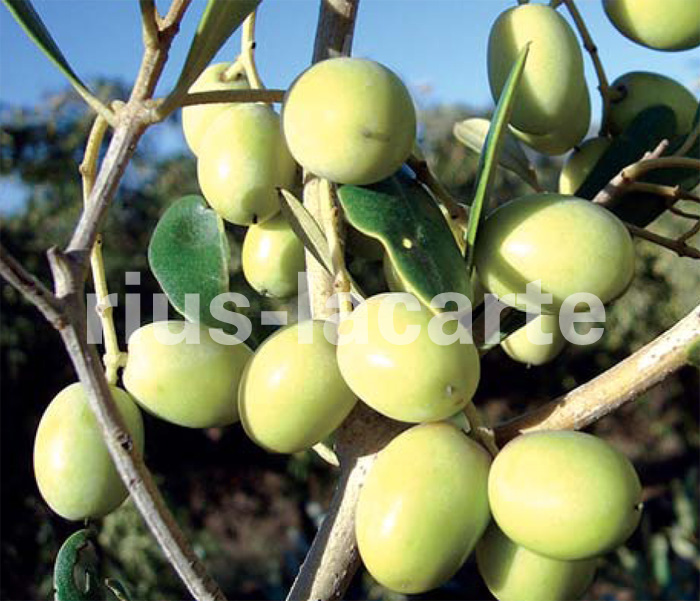 La revoluci n del olivar el cultivo en seto presentaci n - Seto de bambu ...